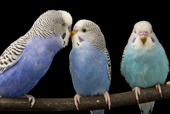 How to Raise a Budgie