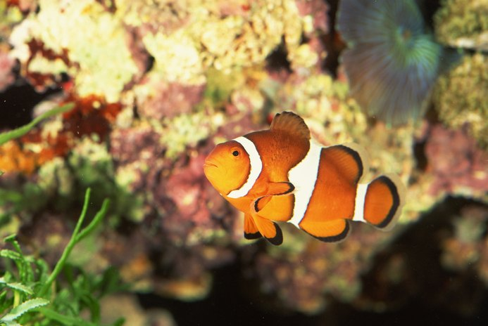 Specialized Characteristics of a Clown Fish