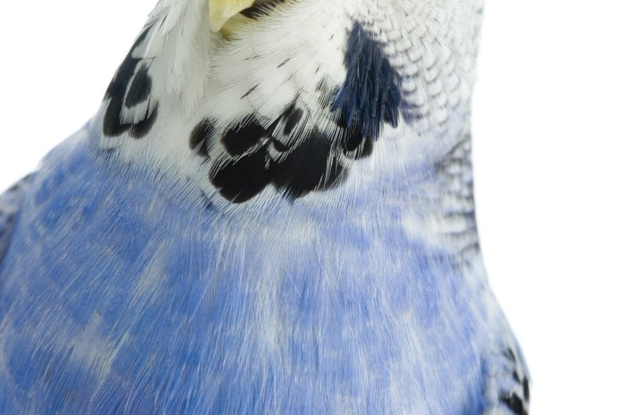 How to Clean a Budgie