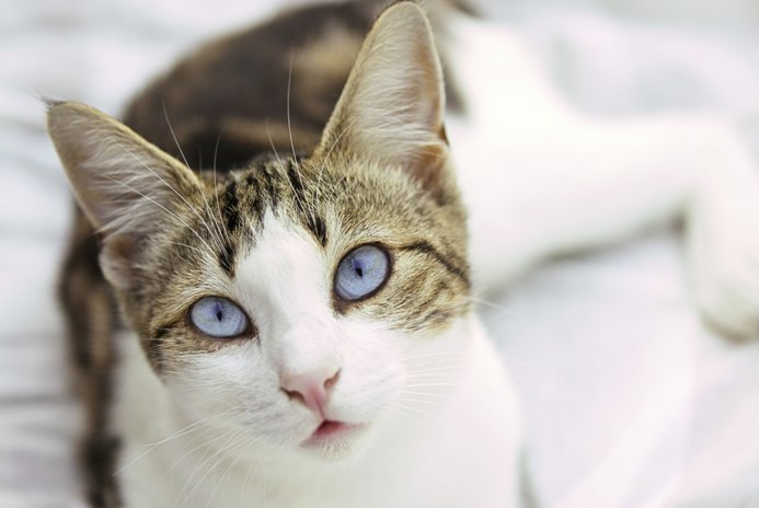 Acupressure for Hyperthyroidism in a Cat