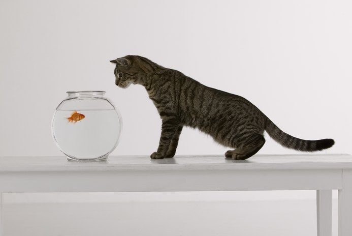 How Do Goldfish React to Mirrors?