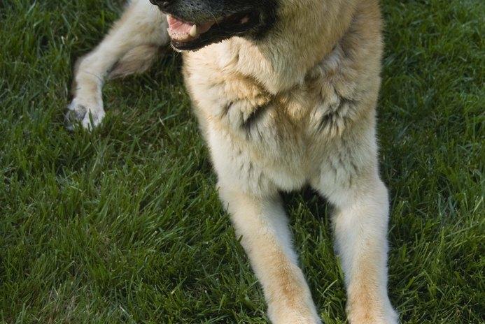 German Shepherd With Wheat & Gluten Allergies