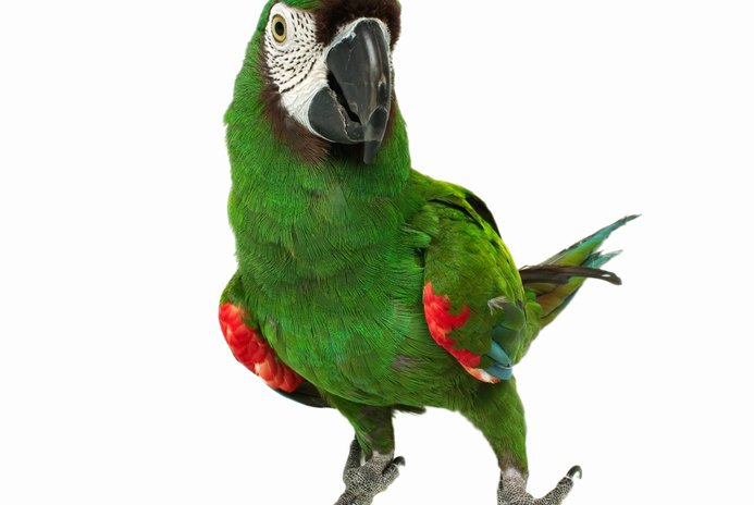 The Average Lifespan of Parrots