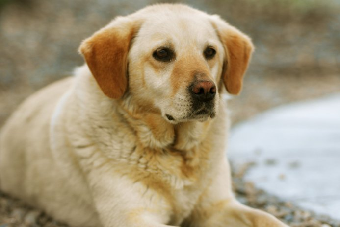 Symptoms of Mange Mites on Labrador Retrievers