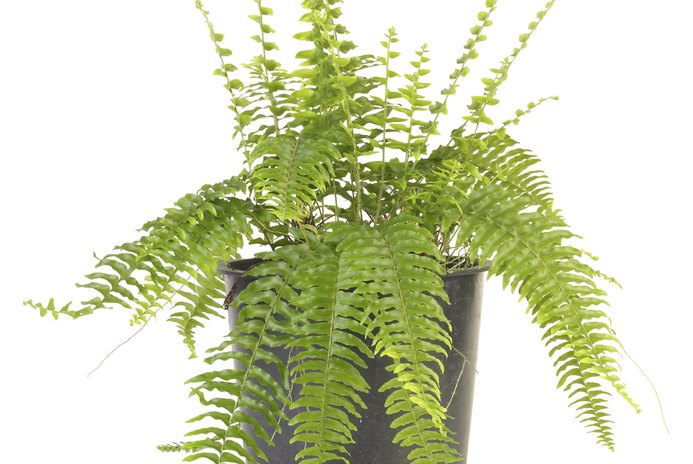 Are Ferns Bad for Cats?