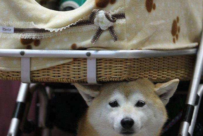 Shedding in a Shiba Inu