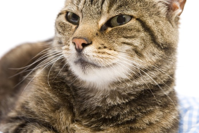 Low Lymphocytes in Cats