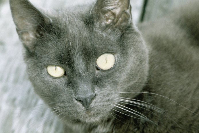 Chlamydia Eye Infection in Cats