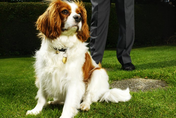 How to Toilet Train a King Charles Spaniel