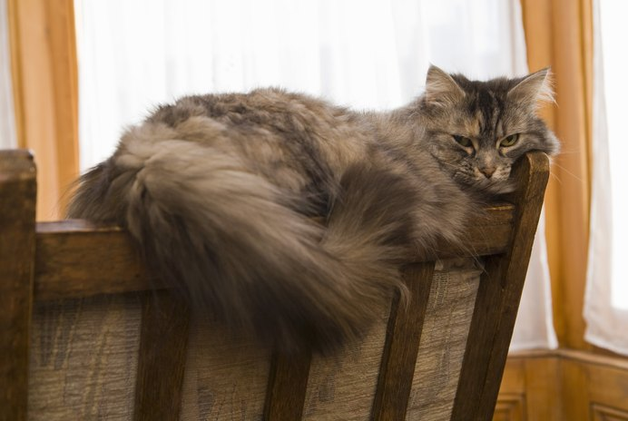 Hairball Pain in Cats