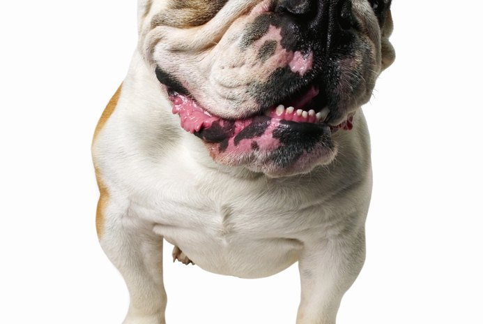 How to Take Care of a Heat Rash for a Bulldog