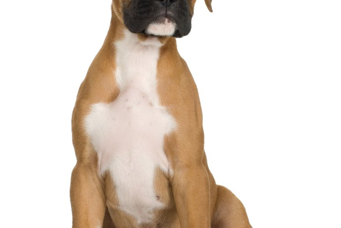How to Housebreak and Train Your Boxer at Home