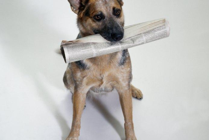 Traits & Behaviors of the Blue Heeler Dog