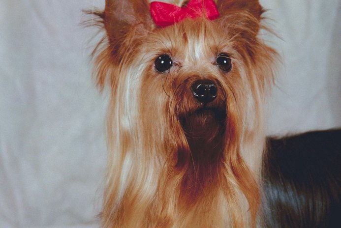 Can You Keep a Yorkie's Hair Short as an Adult?