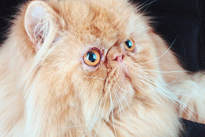 Breathing Problems in Persian Cats