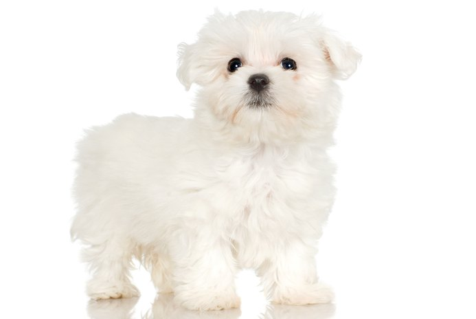 How to Teach a Maltese Puppy Tricks Using a Treat