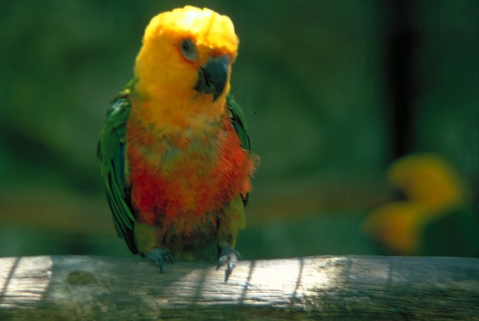 The Most Common Diseases of the Amazon Parrot