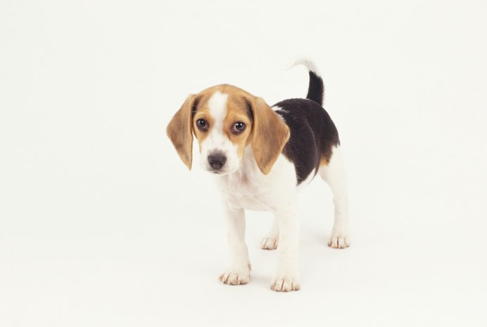 What Do 8-Week-Old Beagles Eat?