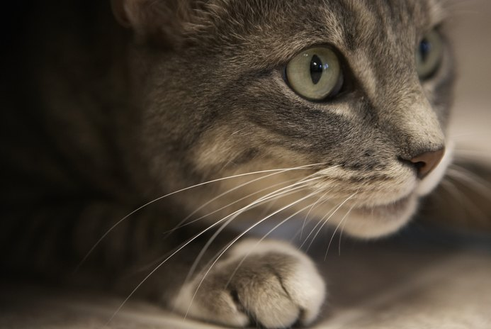 What Is a Cat's Vibrissae?