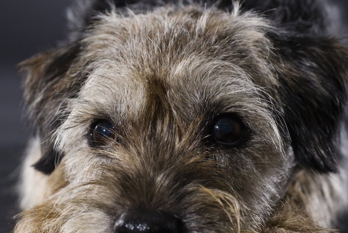 Types of Wire Hair Toy Terriers
