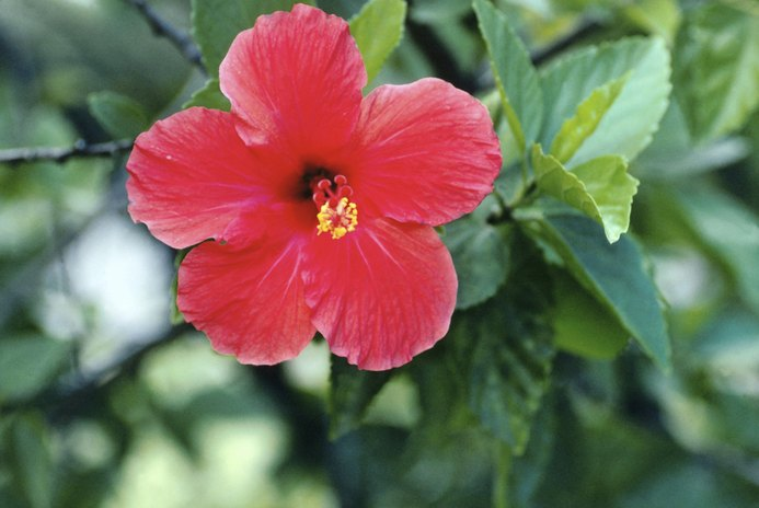 How to Brew Hibiscus Tea for Maximum Health Benefits