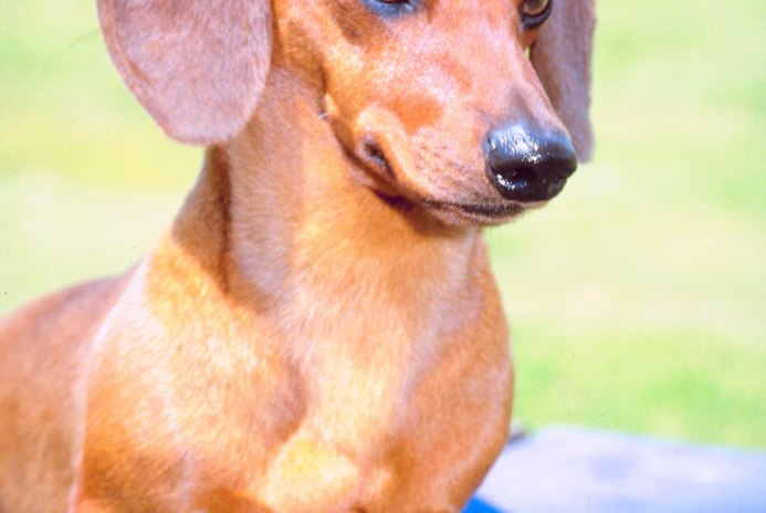 Grooming Tips for a Mini Dachshund