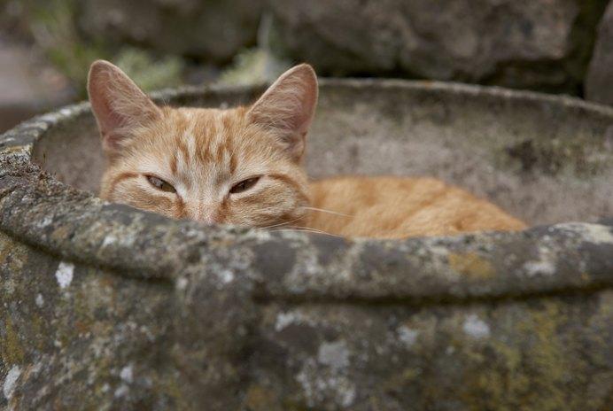 False Pregnancy in a Cat