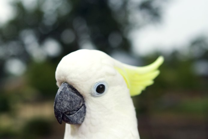What Should a Cockatoo Habitat and Aviary Consist Of?