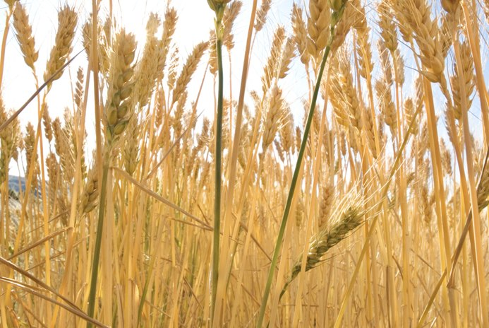 What Are the Benefits of Toasted Wheat Germ?