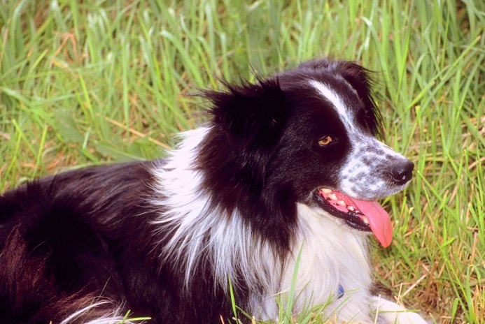 Exhaustion in a Border Collie