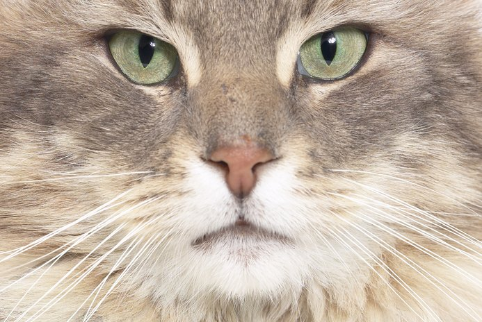 Can Corticosteroids Cause Behavioral Changes in Cats?