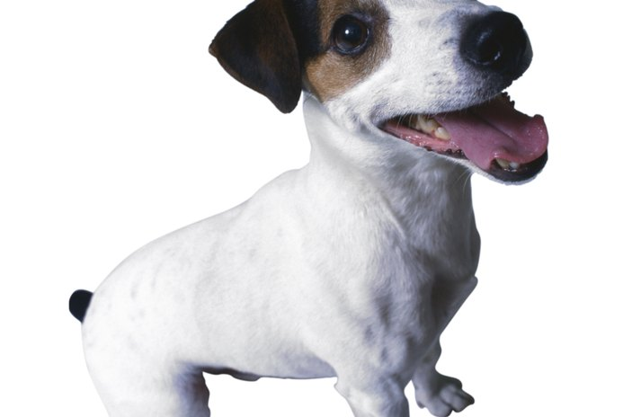 Separation Anxiety in Jack Russell Terriers
