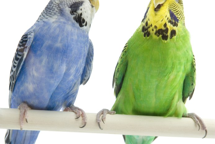How to Tell the Age of a Budgie