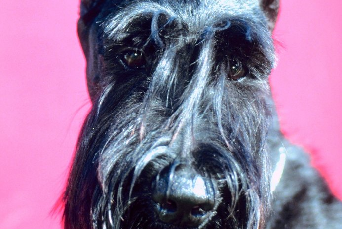 How to Get Rid of the Black Dandruff on Schnauzers