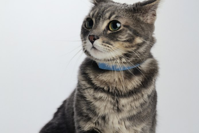 Do Collars on Cats Make Them Lose Their Hair on the Backs of Their Necks?