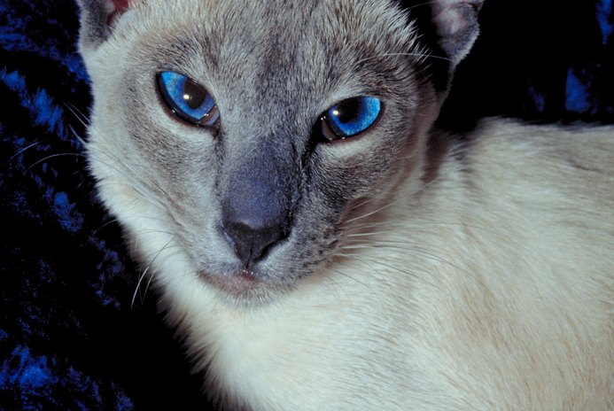Is It Normal for a Siamese Cat to Be Cross-Eyed?
