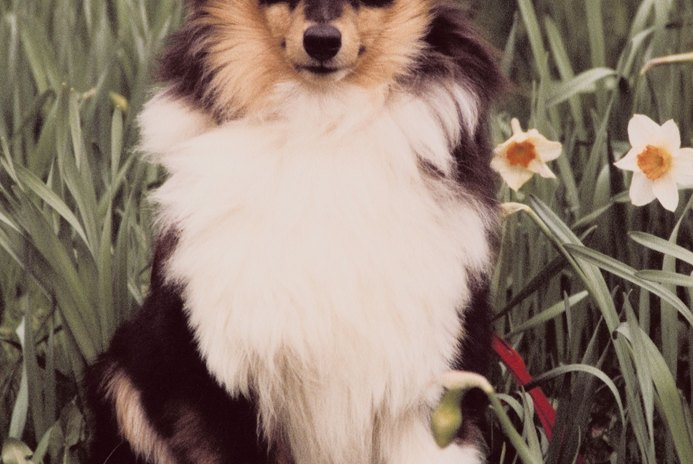 Behavior Problems in Shelties