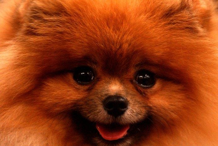 Common Geriatric Pomeranian Problems
