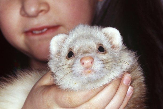 How Long Do Pet Ferrets Live?