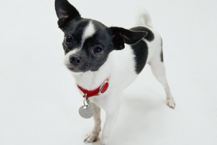 Nervous Bladder in a Chihuahua