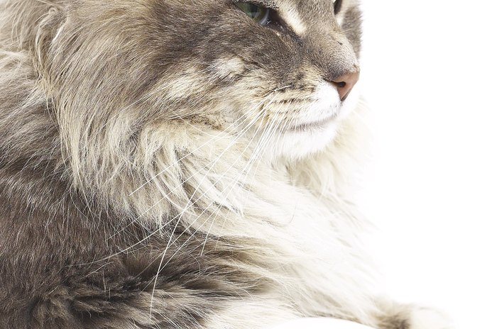 What Are the Benefits of High-Protein Cat Food?