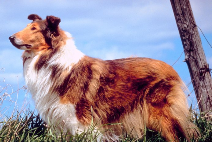 How to Groom a Rough-Haired Collie