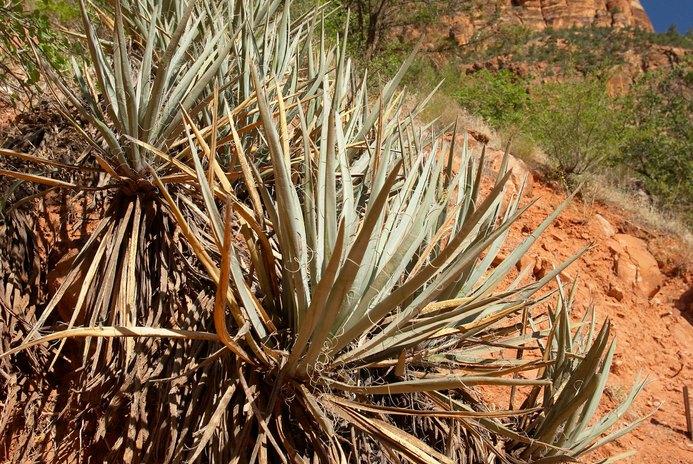 Yucca Root Health Benefits