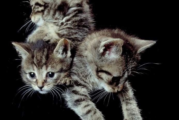 About Constipation in Kittens