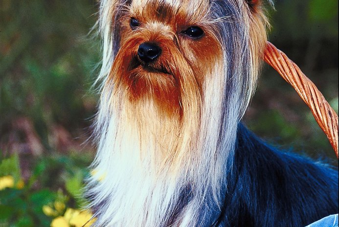 Homemade Yorkie Conditioner
