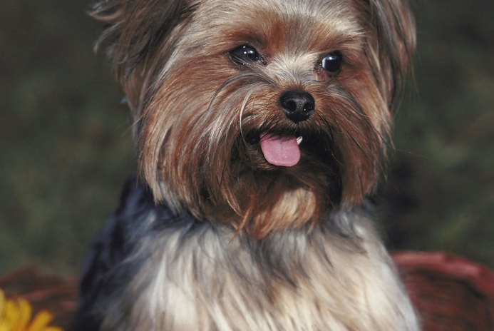 How to Groom a Full Coated Yorkshire Terrier