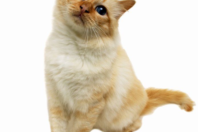 Diabetes Symptoms in Cats