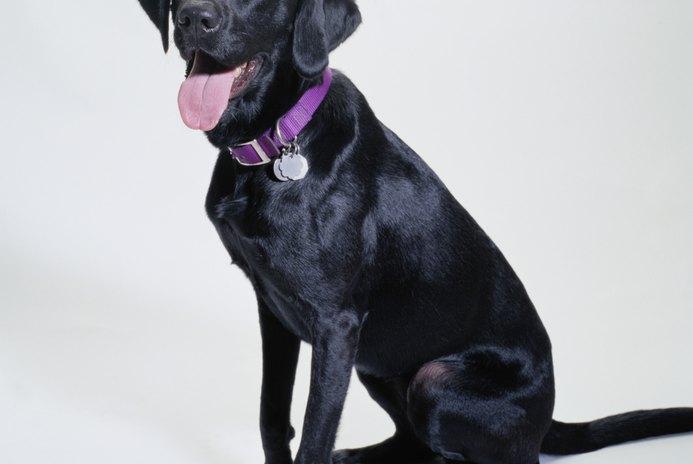Labradors & Broken Tail Syndrome