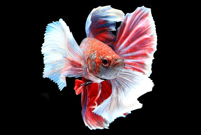 Facts About Crowntail Male Betta Fish