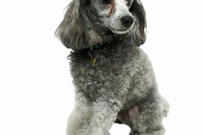 Which Types of Shampoo Are the Best for a Normal & Healthy Poodle?
